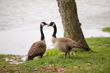 Canadian Geese couple with chicks