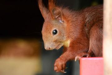 Squirrell Eichhörnchen Futtersuche Nagetier Heimisch Natur Close Up Tierportrait Orange Putzig Niedlich
