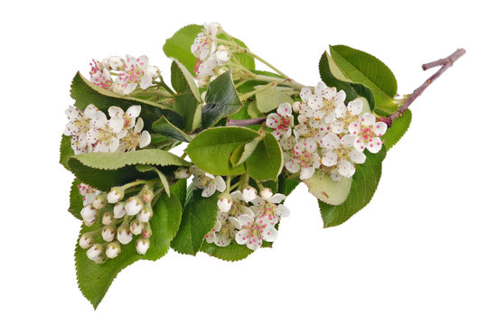 Spring May branch of blossoming wild Bird Cherry tree with white small flowers isolated