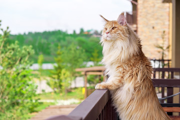 Big beautiful Maine Coon cat standing on the balcony and watching what's going on outside Wall mural