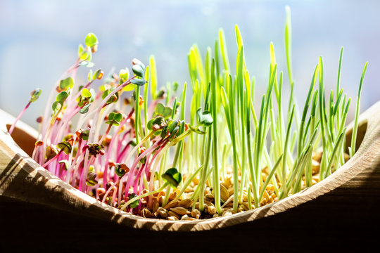microgreens like barley and radish in front of a blue sky