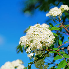 Blühende Eberesche, Sorbus aucuparia