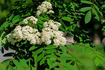 Blühender Vogelbeerbaum, Sorbus aucuparia