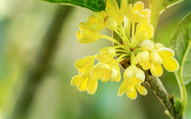 Close up of Sweet osmanthus flowers blossom in the park