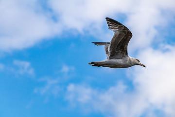 fliegende Möwe an der Elbe