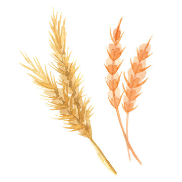 Hand painted watercolor barley, wheat clipart. Isolated on white background. Watercolor hand drawn illustration for logo
