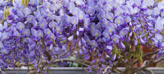 Gorgeous Purple Flowers of Lush Wisteria Blossom - Floral Background for Celebration - Natural Banner, Panorama. Horizontal Image.