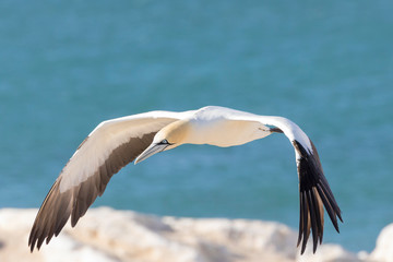 Cape Gannet, Morus capensis, flying at Birds Island, Lamberts Bay, South Africa