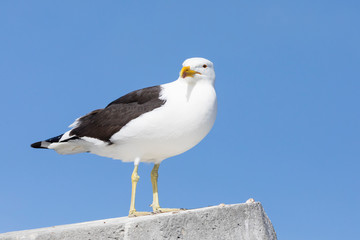 Kelp Gull, Larus dominicanus vetula, perched on cement bollard, Lamberts Bay, South Africa