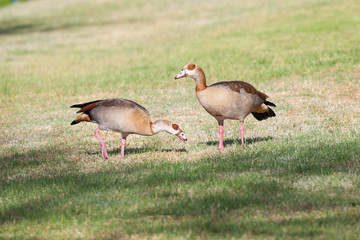 Pair of Egyptian geese,  Alopochen aegyptiaca, foraging on grass in a rural garden on the bank of a river