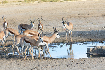 Herd of springbok, springbuck, Antidorcas marsupialis, drinking at waterhole, Kgalagadi Transfrontier Park, Kalahari, Northern Cape,  South Africa