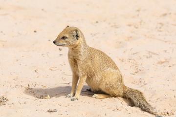 Yellow mongoose, Cynictis penicillata,  sitting on sand , Kgalagadi Transfrontier Park, Northern Cape, Kalahari, South Africa