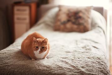 ginger cat / cute pet beautiful cat, red ginger