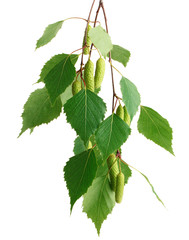 Leaves of birch tree isolated on white background