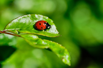ladybird sitting on a green rose plant leaf, macro color picture with copy space
