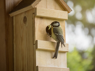 Tit with caterpillar in the beak feeding the youngsters in the nest box