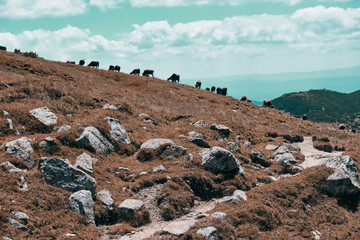 Free cows gazing in the mountains