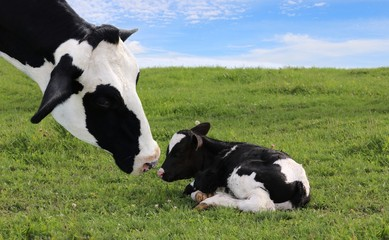 Poster Koe close up of Holstein cow head as she watches over her newborn calf