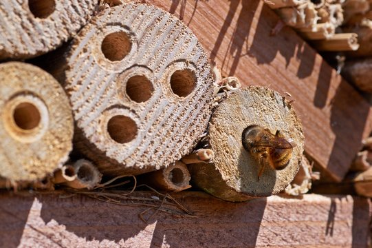 Red Mason bee inspecting a potential nesting site
