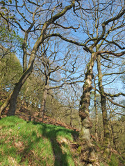 tall twisted trees in the colden valley in west yorkshire in bright early spring sunlight