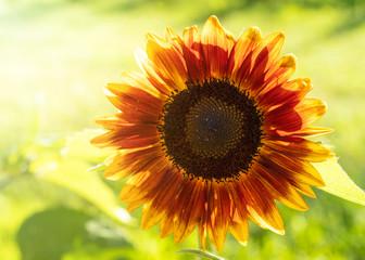 Sunlight shining through a sunflower in the home garden.