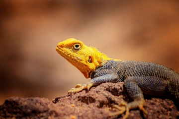 Close up photo of yellow and blue colored lizard, rock agama. It is wildlife photo of animal in Senegal, Africa. Agama posing on rock against blurred background.
