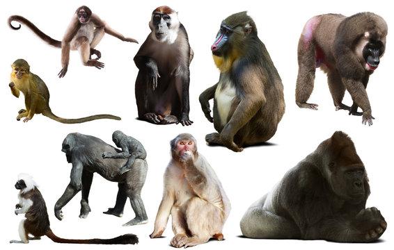 primates isolated on white