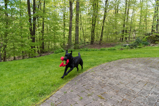 A black dog running with pure joy and a toy in her mouth