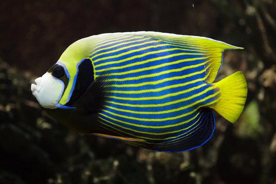 Emperor angelfish (Pomacanthus imperator).