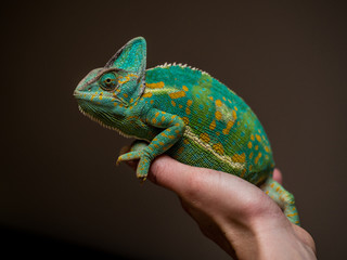Photo sur Plexiglas Cameleon beautiful green chameleon posing on a female hand in a studio surounding