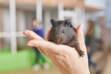 Guinea pig little black in his hands