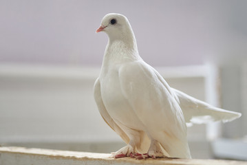 Beautiful white dove sitting on a wooden crossbar