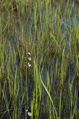 Portrait of Englemann's Arrowhead white wildflower and reeds growing in dark water, realistic natural light, Louisiana spring