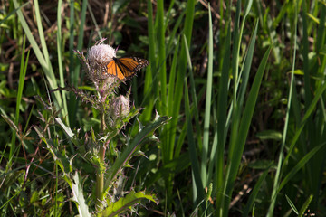 Orange Monarch butterfly resting and feeding on a wild bull thistle weed