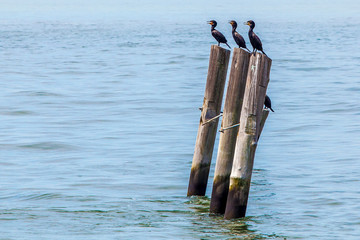 Three river birds standing on a wooden pillars in Hudson River in New York City, USA