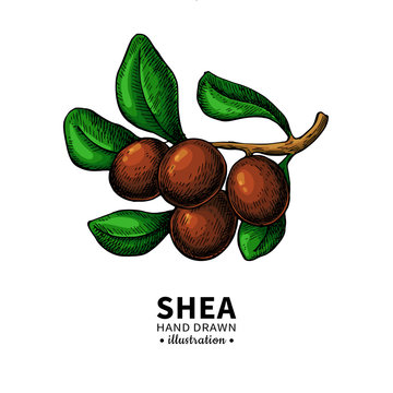 Shea butter vector drawing. Isolated illustration of berry on branch.