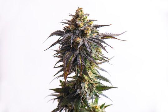 Detail of Cannabis flower (CBD dream strain) isolated over white
