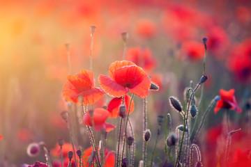 Obraz Poppy field - fototapety do salonu