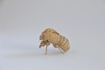 pop of a cicada, family of the cicadoidea