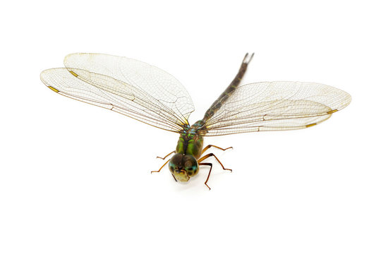 Image of dragonfly on a white background. Transparent wings insect. Insect. Animal.
