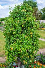 Birnbaum mit der Sorte Neue Poiteau