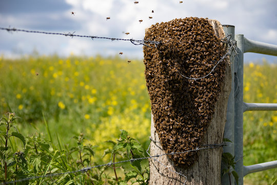 Swarm of bees packed on a fence