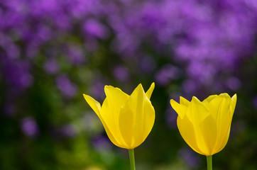 2本の黄色のチューリプ