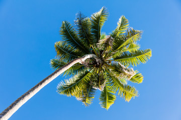 Tree top of cocunut palm tree