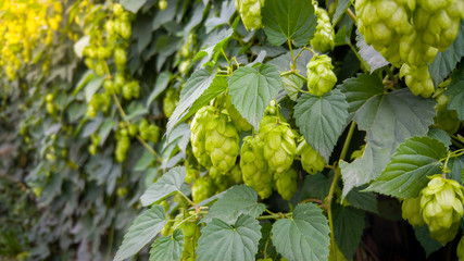 Closeup image of ripe green hop growing on fence at bright sunny day. Hop is used in beer making brewery