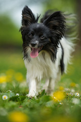 Running papillon dog walking in a spring flower meadow