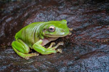 litoria caerulea, the green tree frog, sitting on a dark rock in tropical rain forest, near Cairns, Queensland, Australia