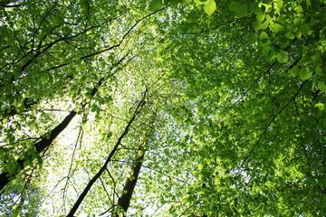 Obraz Słońce przebijające się przez gałęzie drzew pokryte zielonymi, wiosennymi liśćmi - fototapety do salonu
