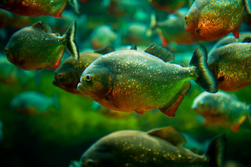 Piranhas in the water