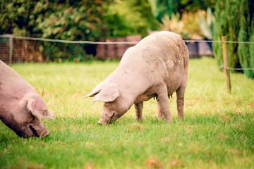 pigs in field. Healthy pig on meadow Wall mural